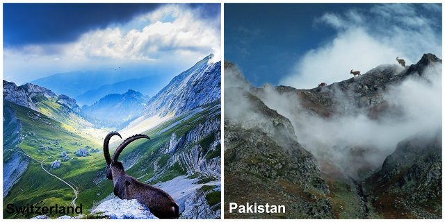 Ibex-the-National-Animal-of-Pakistan.
