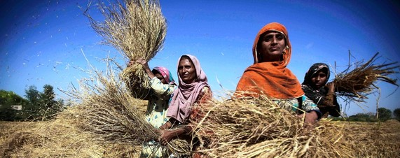 Pakistani Wheat-Export