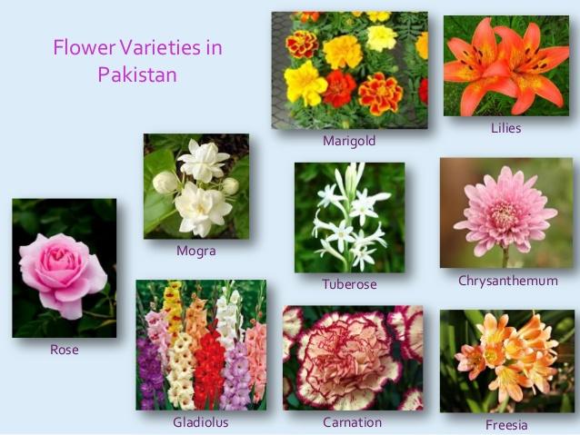 کشت گل رز در پاکستان