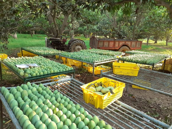 Delay in Pakistani mango exports could be an opportunity